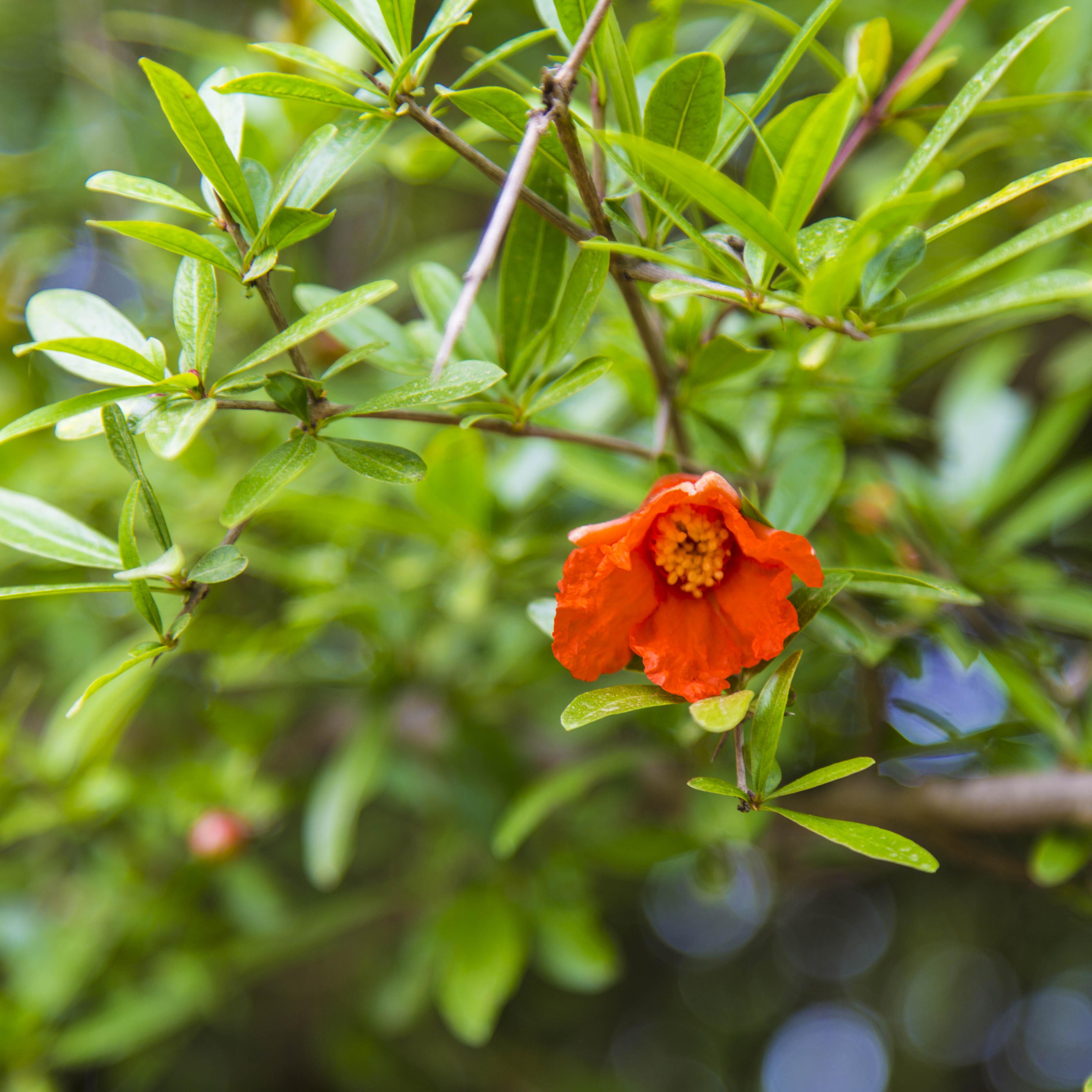صنایع چوبی سنگیان اولین حامی محیط زیست درخت های انار ترش مازندران